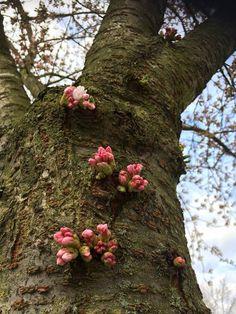 Blossuming. Delft, Netherlands