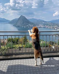 Things that make you go AWW! Like puppies, bunnies, babies, and so on. A place for really cute pictures and videos! Cute Dogs And Puppies, I Love Dogs, Pet Dogs, Dog Cat, Doggies, Baby Beagle, Beagle Puppy, Chien Beagle Prix, Beagle Lemon