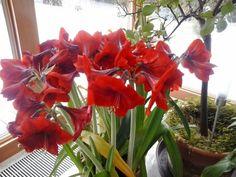 Így lesz csodás virága az amarillisznek | Balkonada Amarillis, Cactus, Aloe, Gardening, Plants, Flowers, Tulips, Succulents, Lawn And Garden