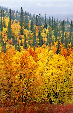 Fall Foliage in Scandinavia: Fall in Lapland, Finland Helsinki, Norway Forest, Lapland Finland, Lappland, Autumn Forest, Fall Pictures, Mellow Yellow, Belle Photo, Beautiful World