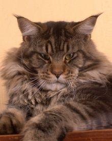Maine Coon Cat. NW JW S*Coppermines Zeus