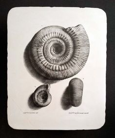 Lithographiestein,Lithografiestein,lithographic printing stone: Bayle Ammonites
