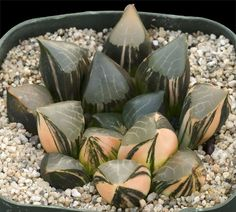 Haworthia bayeri cv 'Pineapple Moderne' 530$.jpg (900×811)