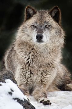 Grey Wolf by Bill Edwards* Wolf Images, Wolf Photos, Wolf Pictures, Beautiful Wolves, Animals Beautiful, Cute Animals, Wolf Spirit, Spirit Animal, Tier Wolf