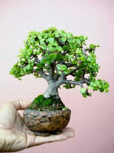Outdoor Bonsai can be grown in a small area of your garden, and some of the most healthy Bonsai in the world are outdoor Bonsai. Jade Plants, Bonzai Tree, Zen Garden, Succulent Bonsai, Plant Decor, Perfect Plants, Jade Bonsai, Planting Succulents