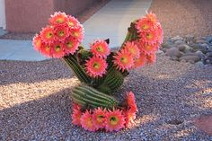 Hardy desert plants, such as the cactus, thrive in Phoenix's climate.