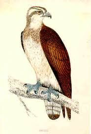 Image result for cartoon osprey bird