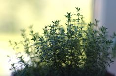 What could be better than having the scents and flavors near to hand in the kitchen? Thyme is a useful herb that can be used in a variety of ways. Growing thyme indoors is easy, and this article will help.