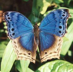 Bwindi Butterfly by Greg Miles,