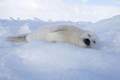 Harp Seal Photograph - Harp Seal Baby by M. Watson