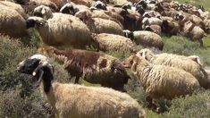 Terrorist from Havat Mor outpost sicks attack dog on Palestinian herd of...