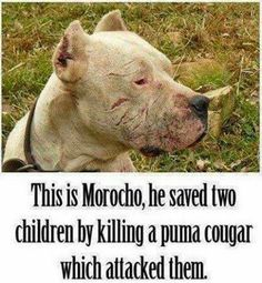Animals Pinterest: This is Morocho, he saved two children by killing ...