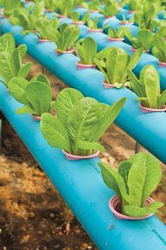All about aquaponics and hydroponics!   Edible Hawaiian Islands Magazine