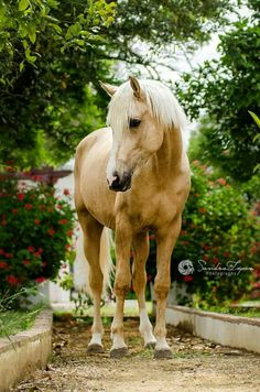 We met this handsome 2 year-old colt in Utrera in our Spanish Equestrian Photography Tour by Katarzyna Okrzesik Photography. Thanks to Marine Ptipoulpe to give us this oportunity to go to your stables.  2 year-old andalusian/lusitano crosss colt Shivas, owned by Marine Ptipoulpe  © Sandra López