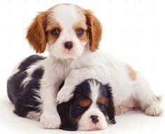 CAVALIER KING CHARLES chien - deux chiots de couleur sur un 16 pouces panneau carré de tissu pour patchwork et couture