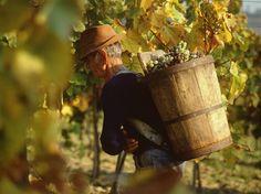 Harvesting the grapes at Tokaj--Google Image Result for http://m.blog.hu/to/tokajiborvidek/image/tokaj2.jpg