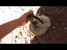 Ticklish Meerkat...I don't think I have heard any animal actually laugh! Short but cute