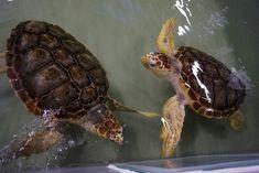 Les deux tortues Caouanne de l'Océarium sont reparties pour le Marineland