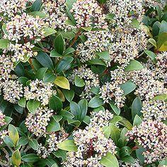 Skimmia japonica. Halfschaduw/Schaduw. Hoogte: 80-100cm. Bloei:3-5.Als in het voorjaar een handje koemestkorrels rondom de wortelvoet wordt gestrooid, zal Skimmia u rijkelijk belonen met bloemen en bessen.