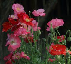 Poppies | Photo: beegardener on Flickr