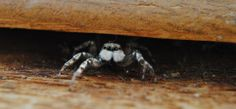 Jumping Spider playing peek-a-boo