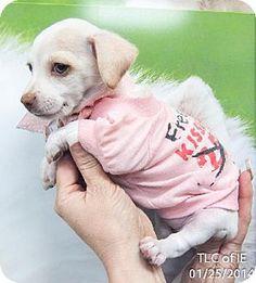 Moreno Valley, CA - Maltese/Chihuahua Mix. Meet 20140125H a Puppy for Adoption.