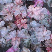 Heuchera 'Mini Mouse' from the Chelsea Gold Medal winning nursery Plantagogo, which is also the holder of the National Collection for Heuchera, Heucherella and Tiarella. Shade Garden, Garden Plants, Indoor Plants, House Plants, Bell Gardens, Dig Gardens, Growing Flowers, Planting Flowers, Flower Gardening