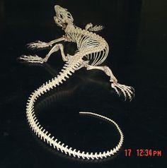 Varanid lizard skeleton
