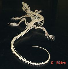 Varanid lizard skeleton