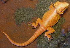 Bearded Dragon (Safari Ltd. - Incredible Creatures) - Animal Toy Forum
