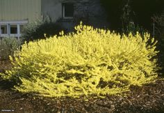 "Dwarf Forsythia (Forsythia x 'Courtasol (Gold Tide)')- Height: 18.0"" to 36.0"" Spread: 72.0"" to 144.0"" Light Exposure: Partial Sun to Full Sun Growth Rate: Fast Moisture: Moist Soil Condition: Clay, Sandy, Well Drained Form: Spreading Landscape Uses: Erosion Control, Ground Cover"