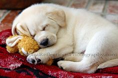 Labrador Puppy First Day copyright Elegant Reflections Photography & Design