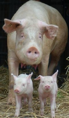 """A mom and her babies. 10 Powerful """"Before"""" And """"After"""" Pictures Of Rescued Animals Pet Pigs, Guinea Pigs, Baby Pigs, Farm Animals, Cute Animals, Pot Belly Pigs, Mini Pigs, Cute Piggies, Little Pigs"""