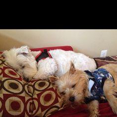 Spoiled #norwich #westie #terrier