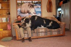 OMG!!! Guess that's a lap hog! And I thought my old english sheepdog was a ridiculous lap dog!