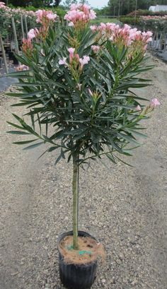 How to Prune Oleander Trees - Arizona Gardening Forum - GardenWeb