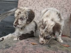 Aussie-Flat puppies who will be trained to be guides for the blind. (Australian Shepherd / Flat Coated Retriever Hybrids)