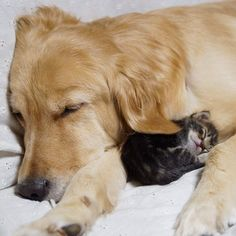 Golden Retriever Ponzu adopts kitten Ichimi, after kitten is rejected by her mother
