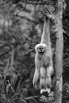The Gibbon by Thanawat Thiasiriphet~♛