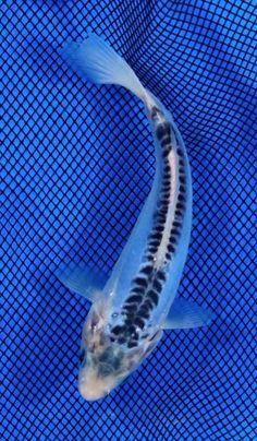 Blue koi fish it looks like blue and white china koi for Carolina koi farm