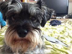 Love My Schnauzer #MontyDog...looks like my crickets twin