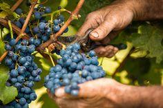 Woher kommen die Tannine im Wein und wie schmeckt Gerbsäure? Gibt es Unverträglichkeiten oder Nebenwirkungen? Wie klären auf, wie Tannin im Wein wirkt...