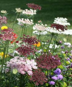 "Queen Anne's Lace – Daucus Carota ""Dara"" Meadow Garden, Garden Cottage, Dream Garden, Flowers Perennials, Planting Flowers, Trees To Plant, Plant Leaves, Front Yard Flowers, Sacred Garden"
