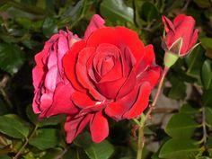 Roseira da minha avó. As rosas estão muito bonitas.