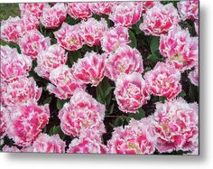 Double Fringed Tulips Queensland Metal Print by Jenny Rainbow. All metal prints are professionally printed, packaged, and shipped within 3 - 4 business days and delivered ready-to-hang on your wall. Choose from multiple sizes and mounting options. Art Prints For Home, Fine Art Prints, Aluminium Sheet, All Wall, Got Print, Any Images, Tulips, Fine Art America, Cool Photos