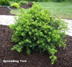 The importance of evergreen shrubs in your mixed border Spreading Yew Evergreen Shrubs Small Evergreen Shrubs, Evergreen Bush, Evergreen Landscape, Trees And Shrubs, Shrubs For Landscaping, Garden Shrubs, Landscaping With Rocks, Lawn And Garden, Hydrangea Landscaping