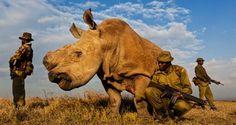 O último rinoceronte-branco do mundo é vigiado 24 horas por dia