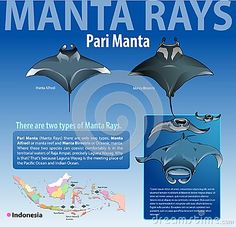 Vector illustration, info graphic various type of manta rays or pari manta