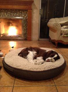 Springer Spaniel - sleeping by a cozy fire 🔥 Springer Spaniel Puppies, English Springer Spaniel, Spaniel Dog, Pet Dogs, Dogs And Puppies, Doggies, Corgi Puppies, Weiner Dogs, Spaniel Breeds