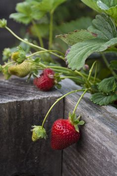 Growing strawberries Traditional Landscape by Shades Of Green Landscape Architecture Strawberry Varieties, Strawberry Plants, Strawberry Fields, Strawberry Farm, Strawberry Patch, Alpine Strawberries, Grow Strawberries, Container Gardening, Gardening Tips